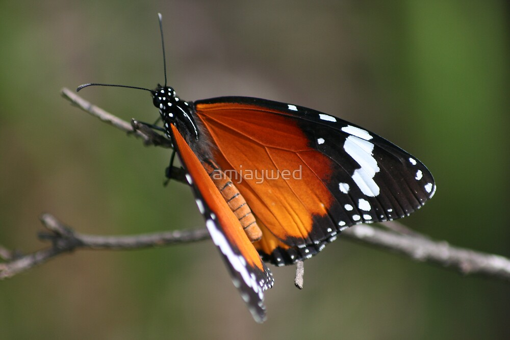 African Monarch Butterfly by amjaywed