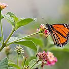 Butterfly beauty 0012 by kevin chippindall
