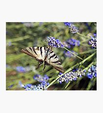 Butterfly drinking nectar from the lavender  Photographic Print