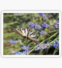 Butterfly drinking nectar from the lavender  Sticker