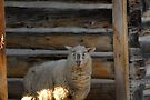 George's sheep by TerriRiver