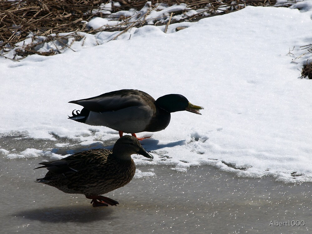 NC Cold ducks #2 by Albert1000