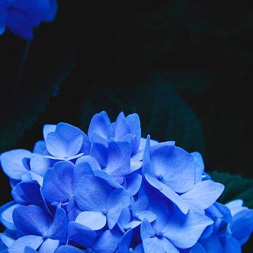 Hydrangeas by VanGalt