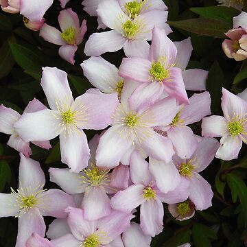 Clematis Montana Summer Flowers by shopismo