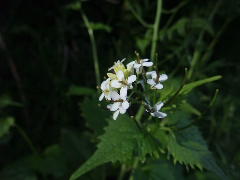 Garlic Mustard (Alliaria petiolata) by IOMWildFlowers