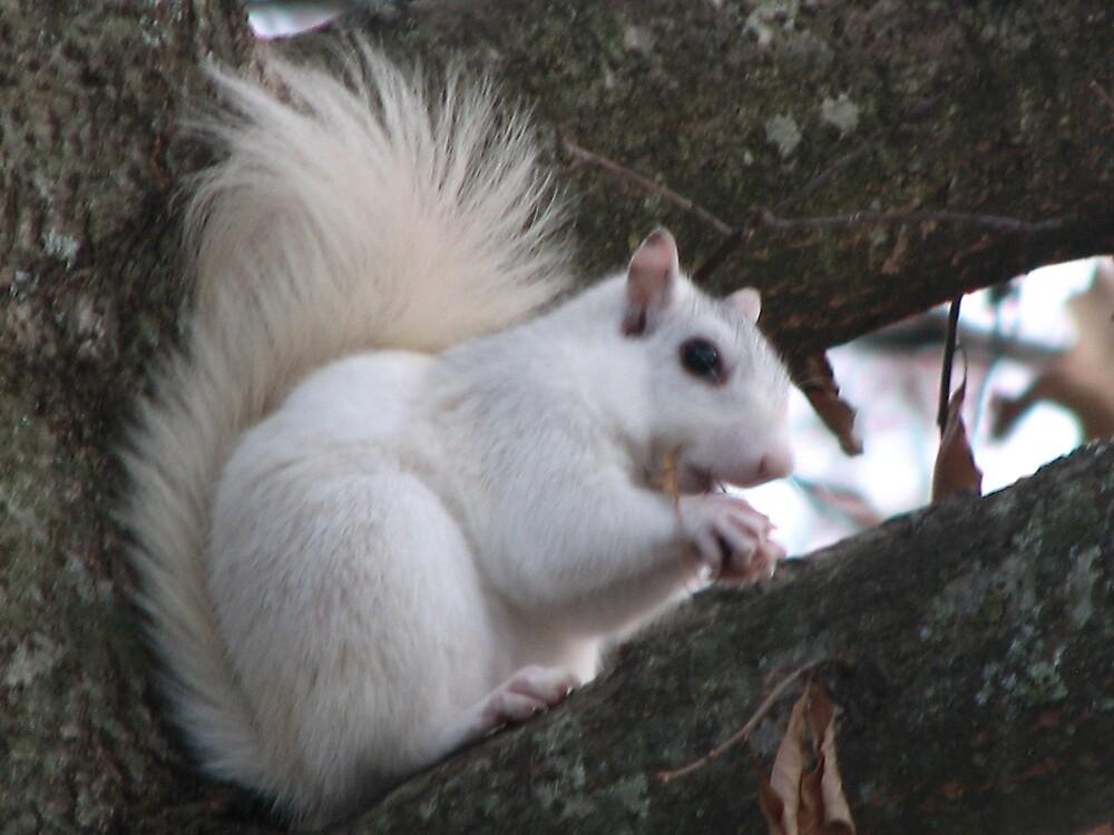White Squirrel by spiritsfreedom