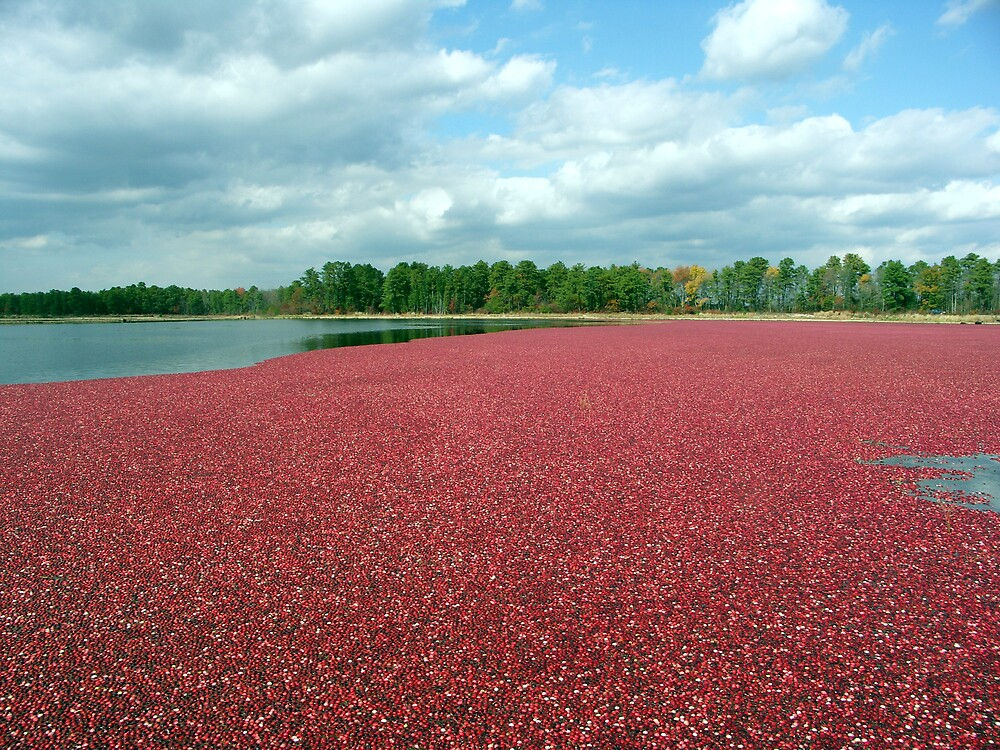 Cranberry Harvest by Marilyn Jones