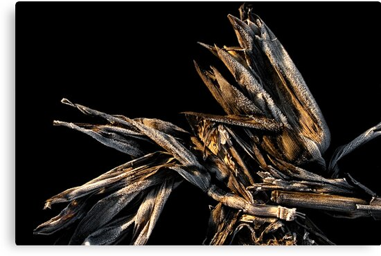 Frosted Corn Husk by Holly Cawfield