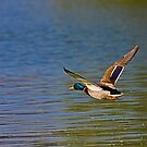 Lone Mallard by Marvin Collins