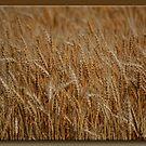 Golden Harvest by Sheryl Gerhard
