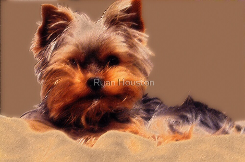 Yorkshire Terrier - Diffuse Glow by Ryan Houston