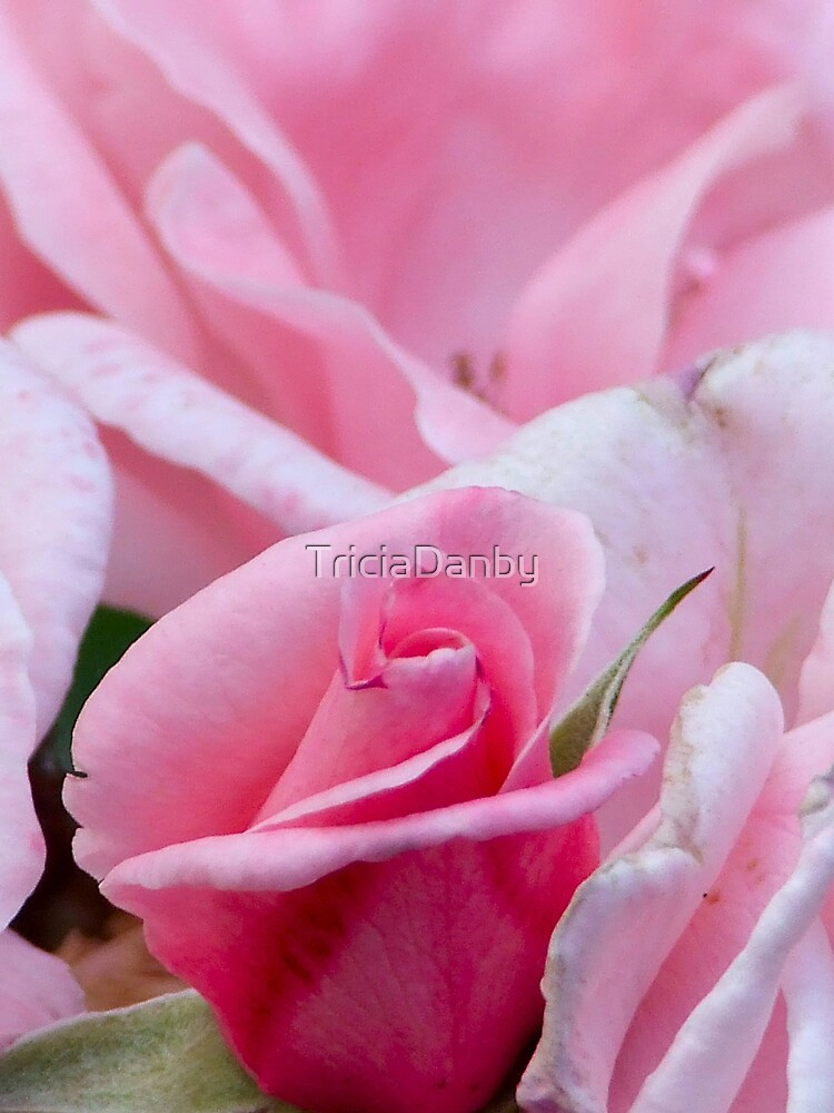 Rose softness by TriciaDanby