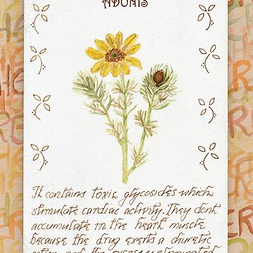 Watercolour Adonis - Herbal by cdwork