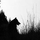 Silhouette of Varg (Belgian Shepherd) by Josie Jackson