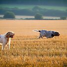 Italian Spinoni Dogs exploring in the evening by heidiannemorris