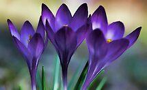 Three Beautiful Ladies in Lavender by T.J. Martin