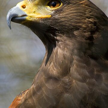 Harris Hawk by MrBanana