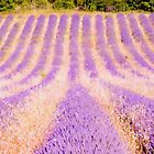 Field Of Lavender In Provence, France by pequot99