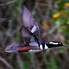 Merganser in Flight! by jozi1