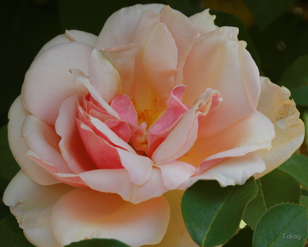 Rose by Tokay