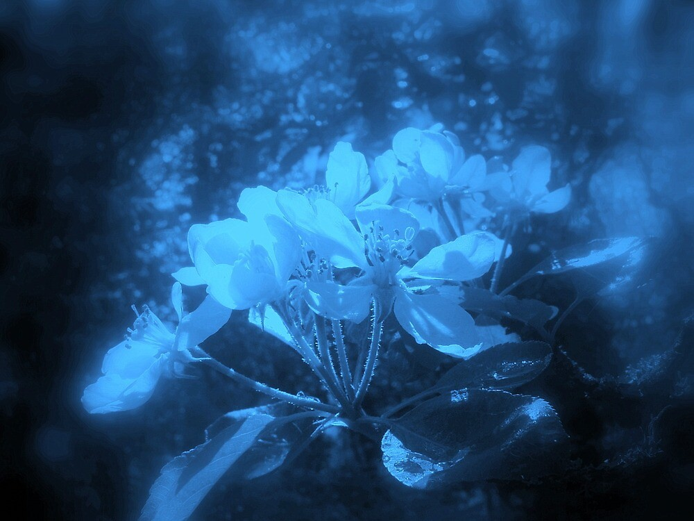 apple blossoms #3, blue tint  by Dawna Morton