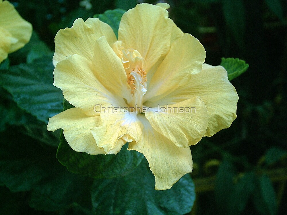 Yellow Hibiscus Flower 2 by Christopher Johnson