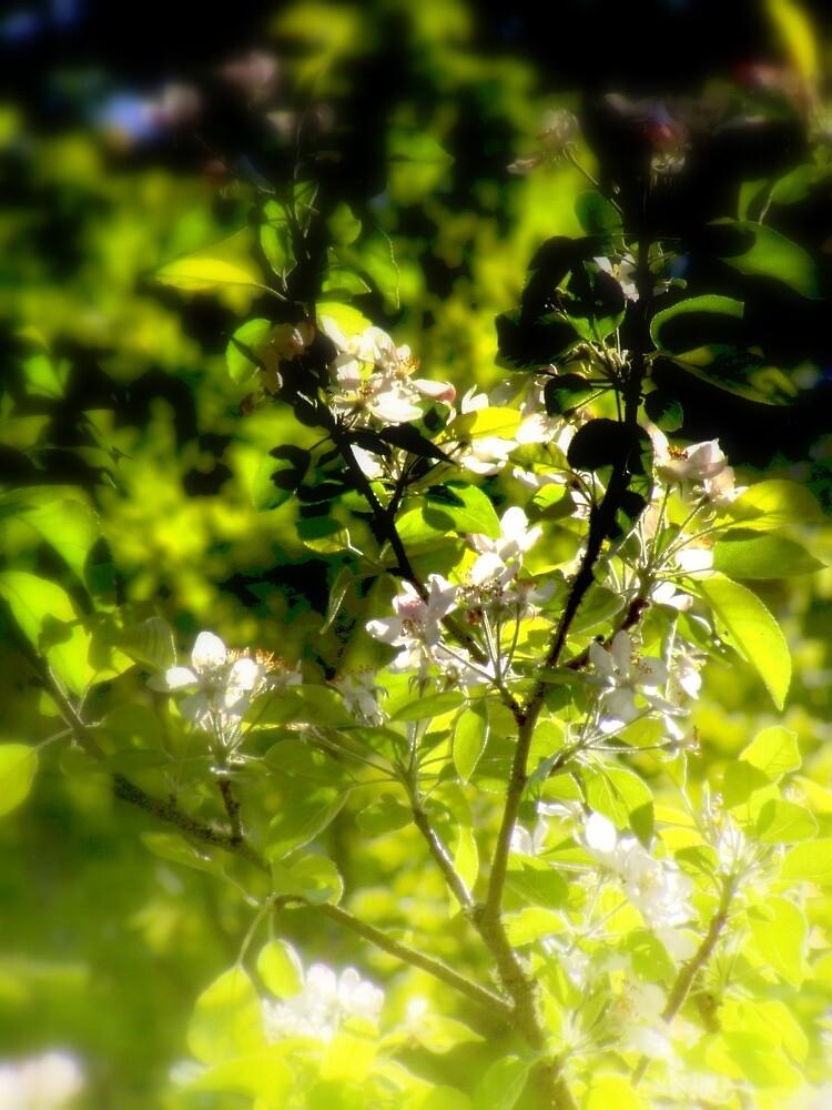 apple blossoms #1 by Dawna Morton