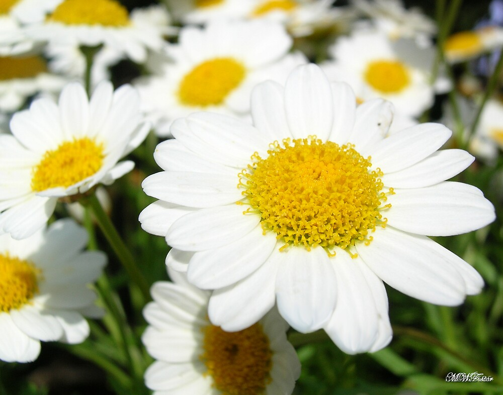 Daisy Cluster by mwfoster