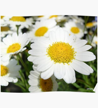 Daisy Cluster Poster