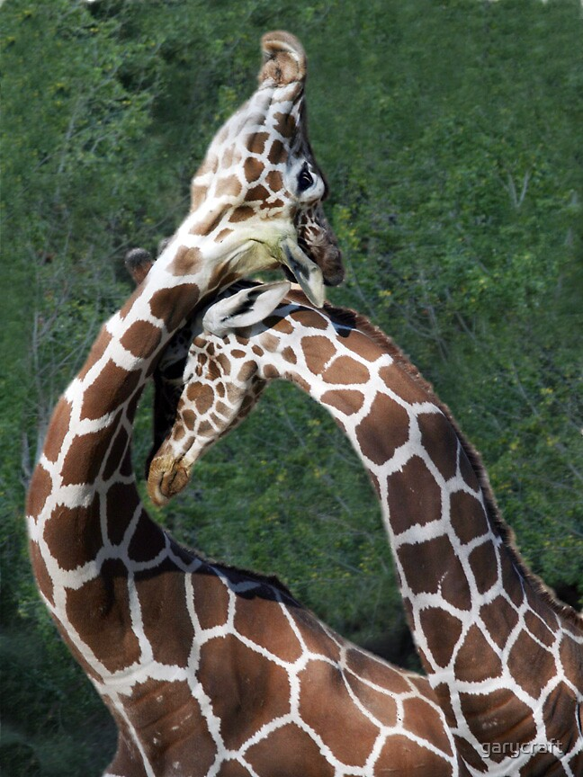 NECKING  GIRAFFES  by garycraft