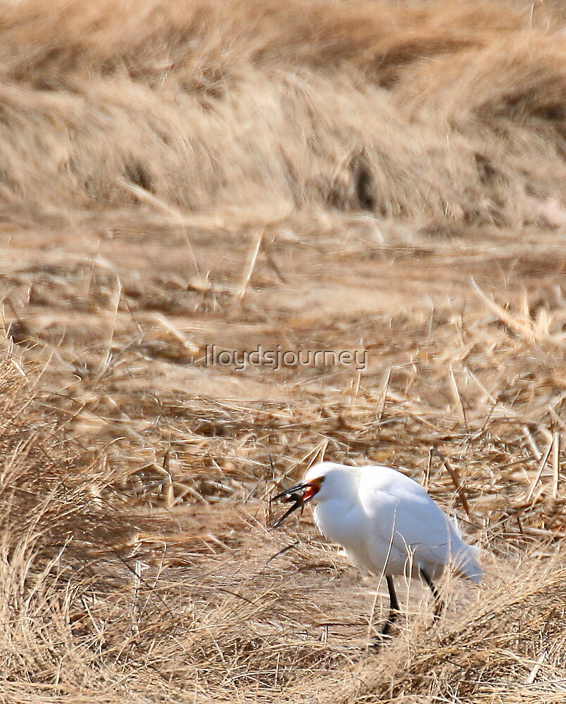 Snowy egret and lunch by lloydsjourney