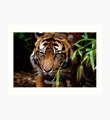 Sumatran Tiger VI Art Print