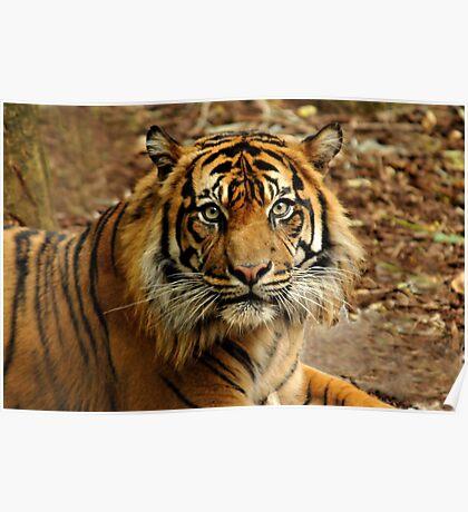 Sumatran Tiger II Poster