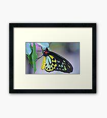 Butterfly Cairns Birdwing III Framed Print