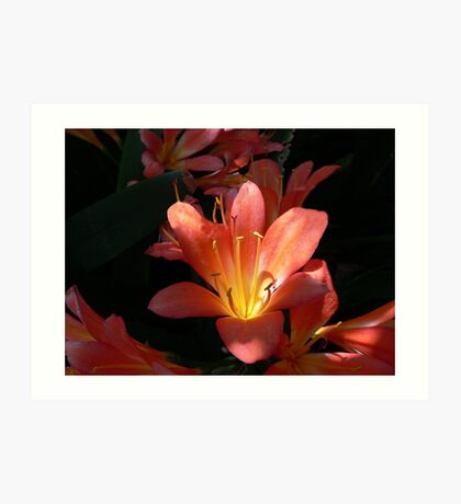 Sunlight Strikes an Orange Clivia Miniata  Art Print