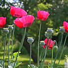 Poppy Power by RedHillDigital