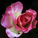 Budding Rose -Pink- by Evita