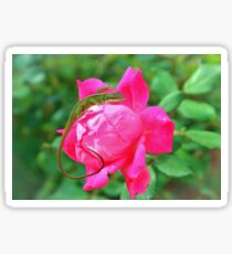Baby Anole On Pink Rose Sticker
