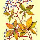 Virginia Creeper - Parthenocissus quinquefolia by Sue Abonyi