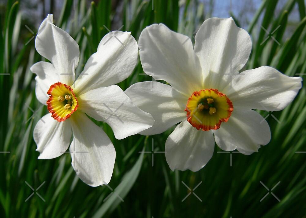 Poet's Daffodil II by Rachel Leigh
