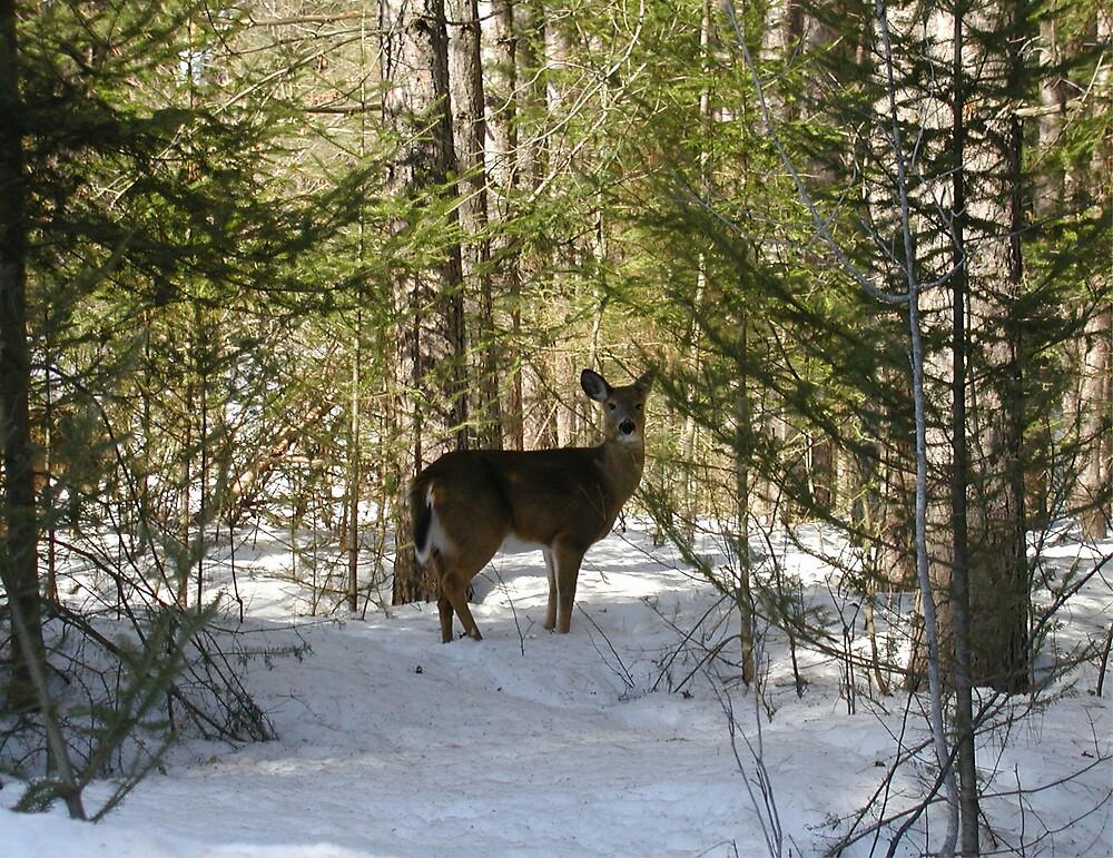 White Tail Deer by Irene Clarke