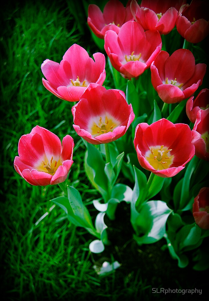 Tiptoe through the Tulips by SLRphotography