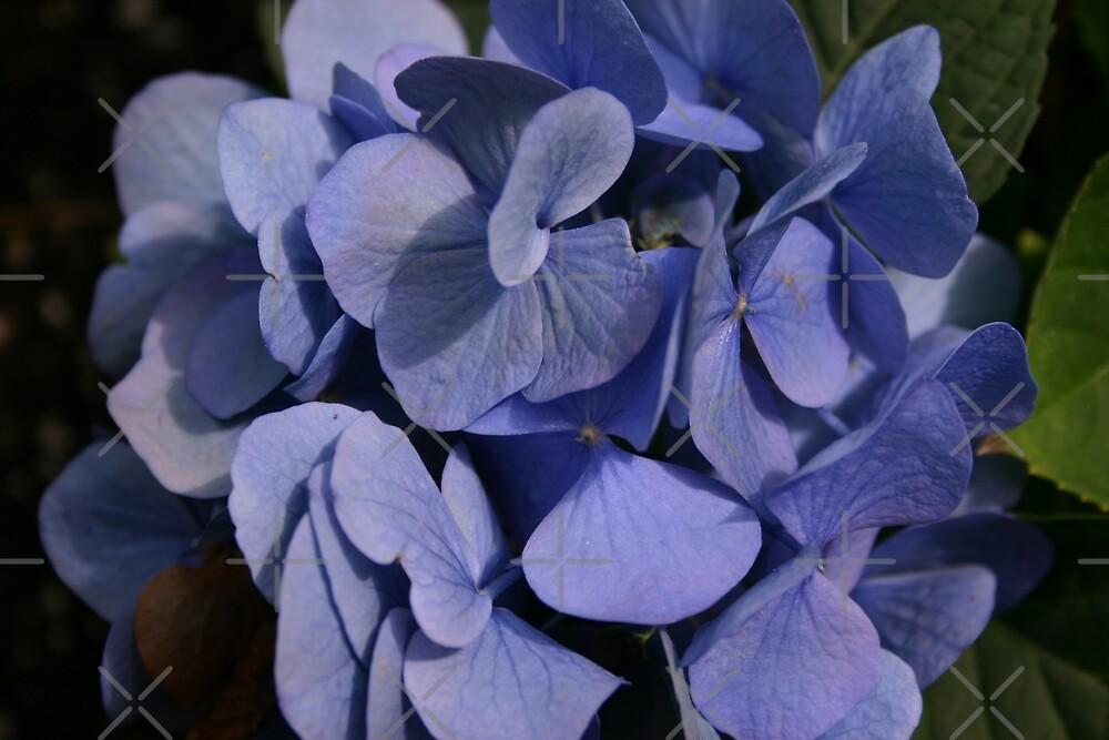 Blue Hydrangea by Alyce Taylor