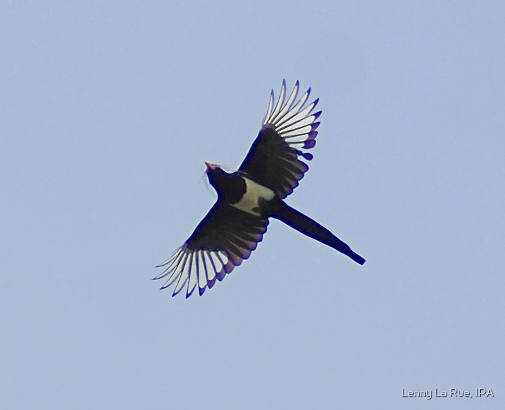 magpie gathering nesting material by Lenny La Rue, IPA