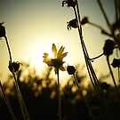 Blumen Sonnenuntergang von Devon Kaplan