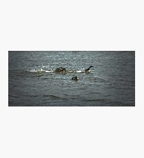 Escape 1. Male mallard ducks fighting Photographic Print