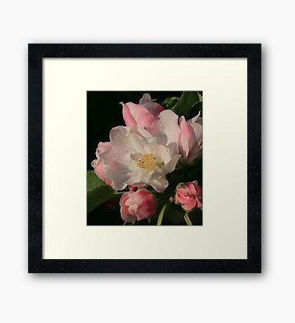 Blossoming Apple Blossom Framed Print