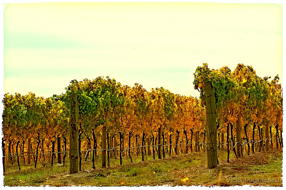 Postcard Vineyard by Victor Pugatschew