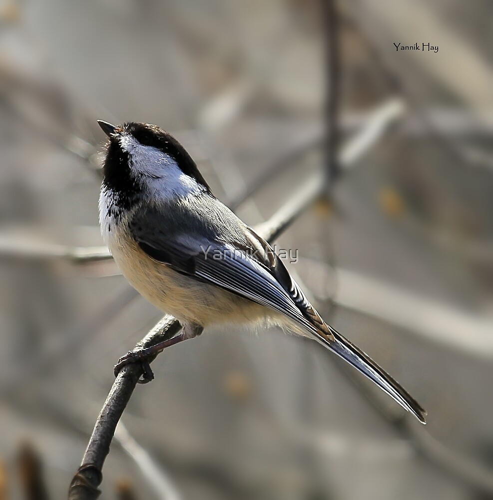 Black-capped Chickadee Waiting for Food by Yannik Hay