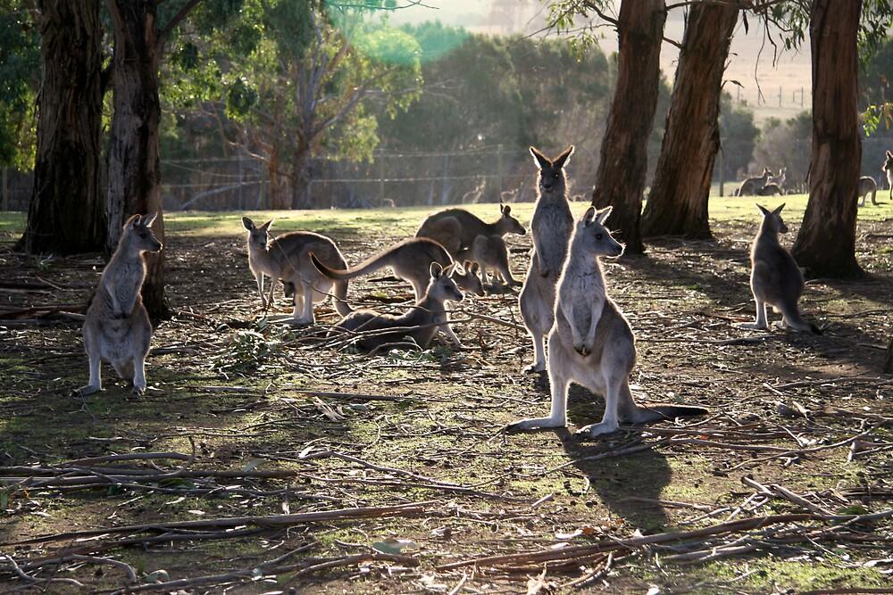Kangaroo Mob by Lambros